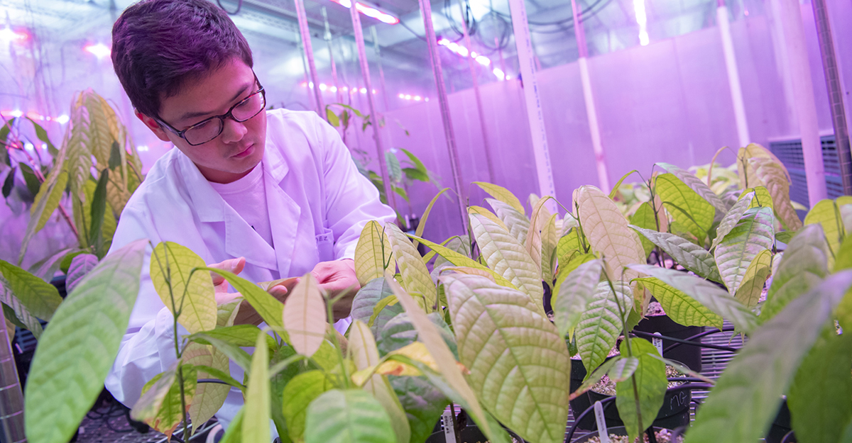 An Agricultural and Environmental Plant Science graduate student examining plants in a greenhouse research experiment