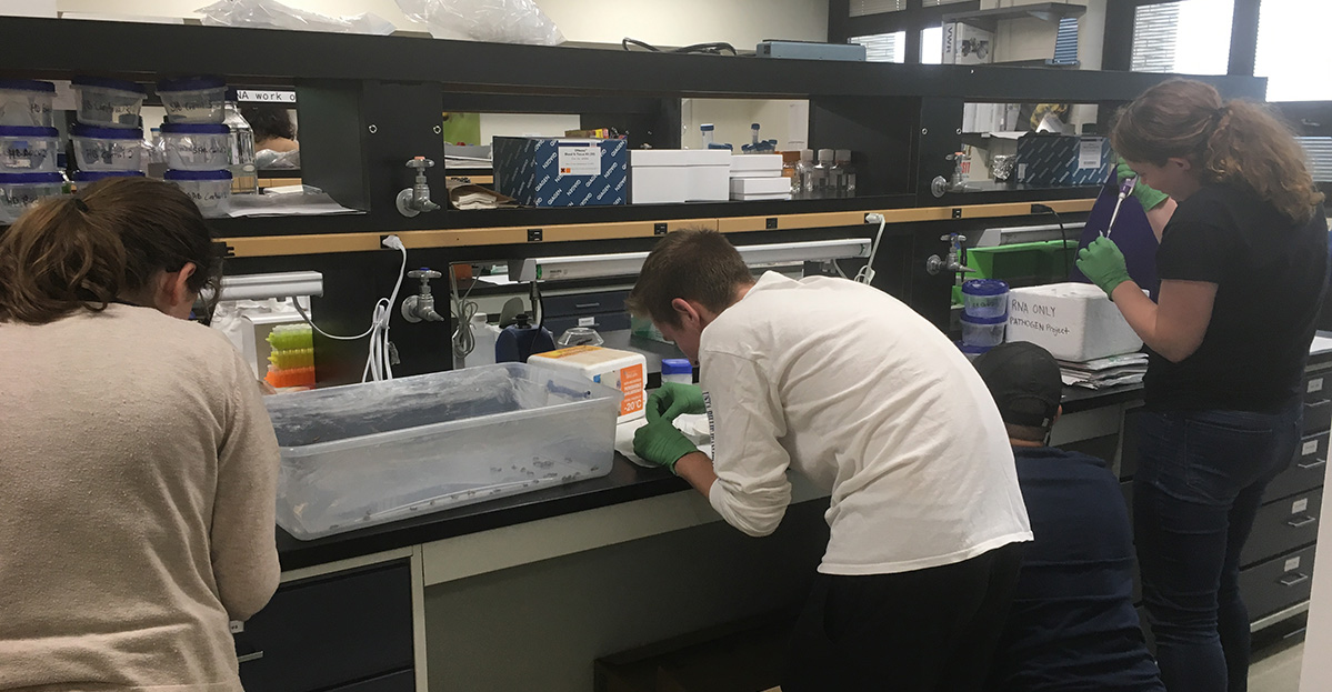 Graduate students inoculating honey bees with viruses passed through different insect hosts to understand viral transmission.