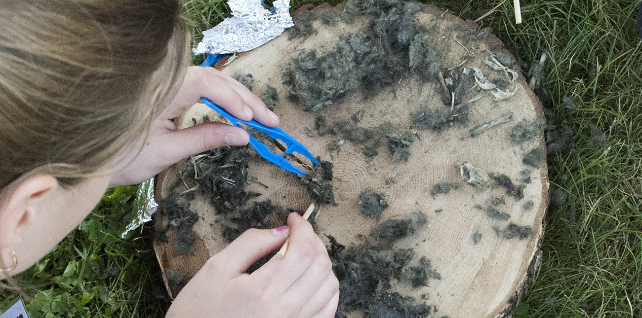 Student examining contents of owl pellets